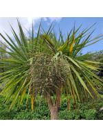 Cordyline Australis - 50 Seeds - New Zealand  Cabbage Palm