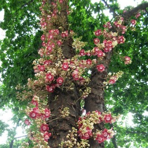 Couroupita Guianensis - 5 Seeds - Tropical Cannonball Tree