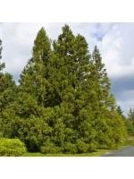 Cryptomeria Japonica - 30 Seeds - Japanese Cedar