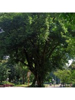 Dalbergia Latifolia - 10 Seeds - Indian Sonokeling Rosewood Tree