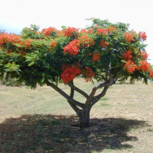 Delonix Regia - 10 Seeds - Fantastic Madagascar Royal Flame Tree