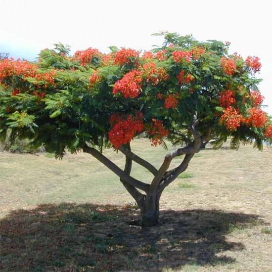 Delonix Regia - 10 Seeds - Fantastic Madagascar Royal Flame Tree