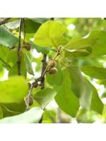 Diospyros Melanoxylon - 10 Seeds - Black Ebony Wood Tree
