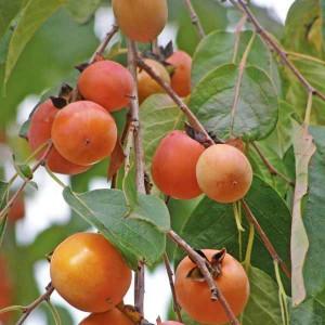Diospyros Virginia - 10 Seeds - American Persimmon Sharon Fruit