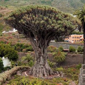 Dracaena Draco - 10 Seeds - Strange Dragon Tree Palm