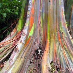 Eucalyptus Deglupta - 50 Seeds - Rainbow Eucalyptus / Mindanao Gum