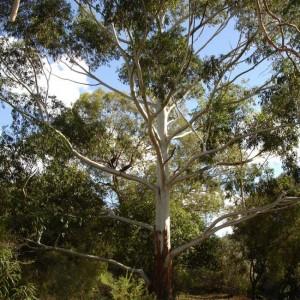 Eucalyptus Grandis - 30 Seeds - Rose Gum / Flooded Gum