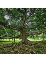 Ficus Religiosa - 100 Seeds - Bo / Bohdi Tree / Sacred Fig