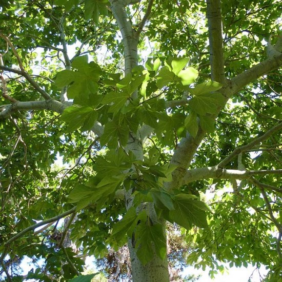 Firmiana Simplex - 10 Seeds - Chinese Parasol Tree