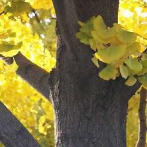 Ginkgo Biloba - 5 Seeds - Maidenhair Tree - Great Bonsai Subject