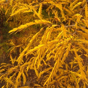 Gleditsia Triacanthos - 25 Seeds - Honey Locust Tree
