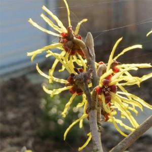 Hamamelis Virginiana - 20 Seeds - American Witch Hazel