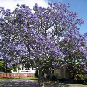 Jacaranda Mimosifolia - 50 Seeds - Tropical Tree Purple Flower