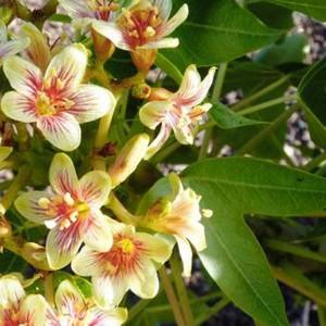 Jatropha Mahafalensis - 5 Seeds - Pachycaul Madagascar Tree