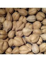 Juglans Ailantifolia - 6 Seeds - Japanese Walnut / Heartnut (Juglans cordiformis)