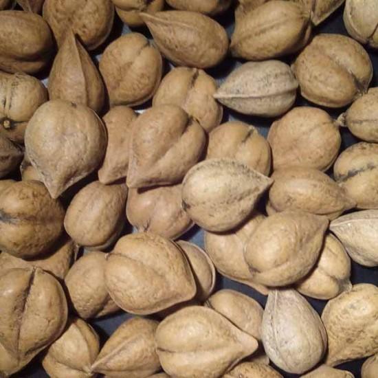Juglans Ailantifolia - 3 Seeds - Japanese Walnut / Heartnut (Juglans cordiformis)