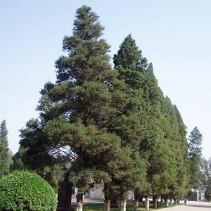 Juniperus Chinensis - 30 Seeds - Chinese Juniper