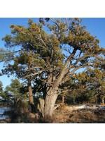 Juniperus Deppeana v Pachyphlaea - 25 Seeds - Alligator Juniper