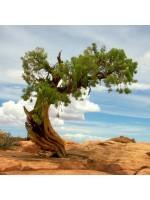 Juniperus Osteosperma - 10 Seeds - Utah Desert Juniper