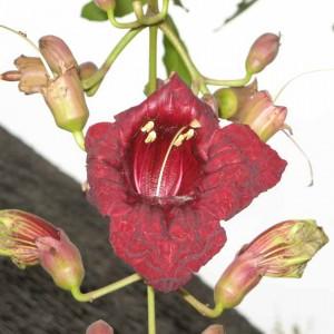 Kigelia Africana - 5 Seeds - Sausage Tree