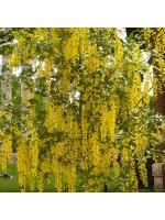 Laburnum Anagyriodes - 50 Seeds - Golden Chain Tree