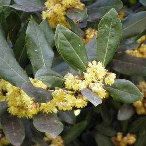 Laurus Nobilis - 10 Seeds - Sweet Bay / Bay Laurel