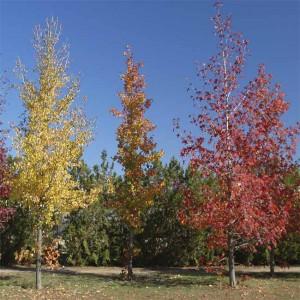 Liquidambar Styraciflua - 30 Seeds - American Sweetgum Tree