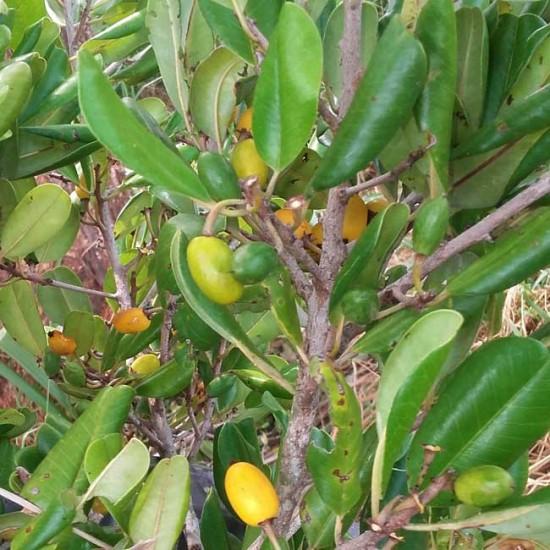 Manilkara Hexandra - 10 Seeds - Khirni Tree