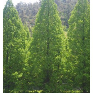 Metasequoia Glyptostroboides - 50 Seeds - Dawn Redwood