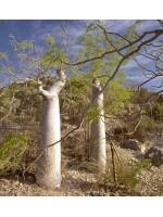Moringa Drouhardii - 3 Seeds - The Madagascar Bottle Pachycaul Tree