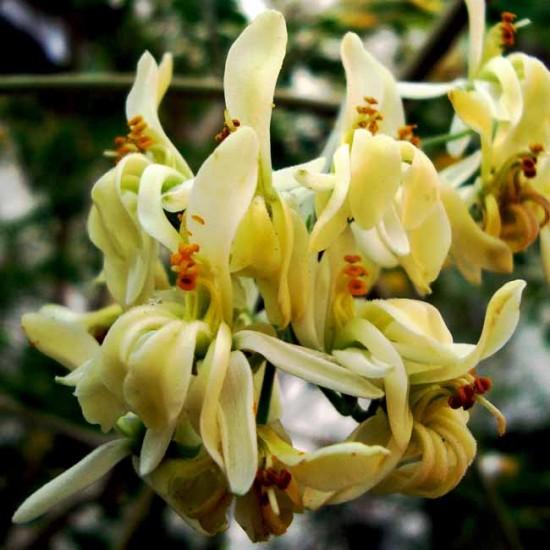 Moringa Oleifera - 10 Seeds - Drumstick / Miracle Tree