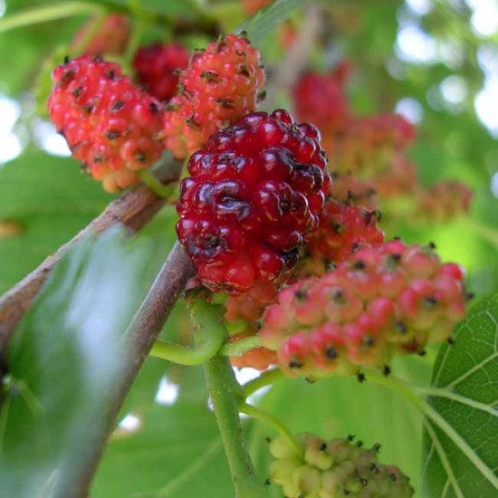 Morus Alba Tatarica - 50 Seeds - White Mulberry