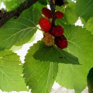 Morus Nigra - 50 Seeds - Black Mulberry