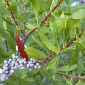 Myrica (Morella) Cerifera - 50 Seeds - The Southern Wax Myrtle
