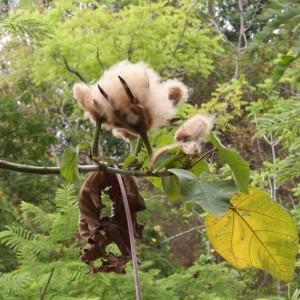 Ochroma Pyramidale - 10 Seeds - Balsa Wood Tree Lagopus
