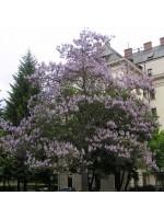 Paulownia Tomentosa - 250 Seeds - Empress Foxglove Tree