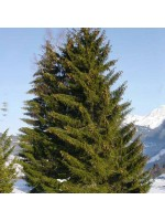 Picea Abies - 50 Seeds - Norway Spruce Christmas Tree!