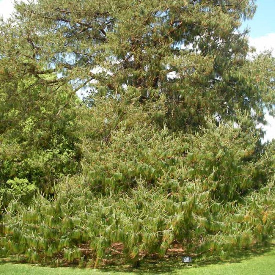 Pinus Patula - 50 Seeds - Mexican Weeping Pine
