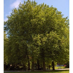 Platanus Acerifolia - 100 Seeds - London Plane Tree