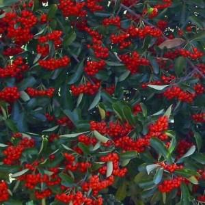 Pyracantha Coccinea 'Red' - 50 Seeds - Firethorn Bush