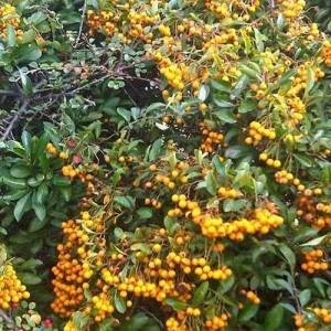 Pyracantha Coccinea 'Orange Glow' - 50 Seeds - Firethorn Bush