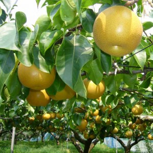 Pyrus Pyrifolia - 20 Seeds - Asian Chinese Pear Tree