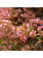 Salsola Oppositifolia - 25 Seeds - Pink Saltbush