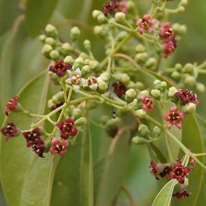 Santalum Album - 10 Seeds - Sandalwood Tree