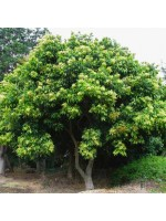 Sapindus Saponaria - 10 Seeds - Wing Leaf Soap Berry