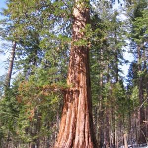 Sequoiadendron Giganteum - 30 Seeds - Giant Sequoia Redwood