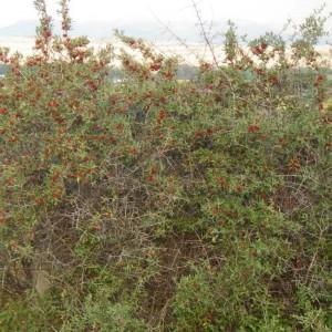 Shepherdia Argentea - 25 Seeds - Thorny Silver Buffaloberry