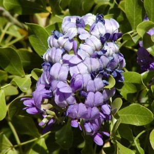 Sophora Secundiflora Seeds - Mescal Bean - Texas Mountain Laurel