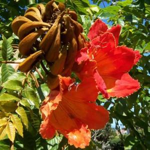 Spathodea Campanulata - 10 Seeds - Flame Of The Forest Tree