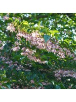 Styrax Japonicus Rosea - 10 Seeds - Japanese Pink Snowbell